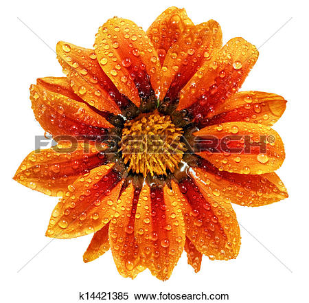 Stock Image of Single flower of tiger Gazania with drops.