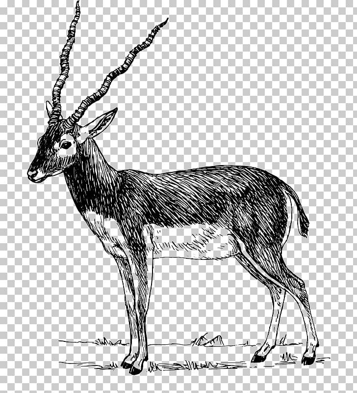 Antelope Pronghorn Impala Gazelle , gazelle PNG clipart.