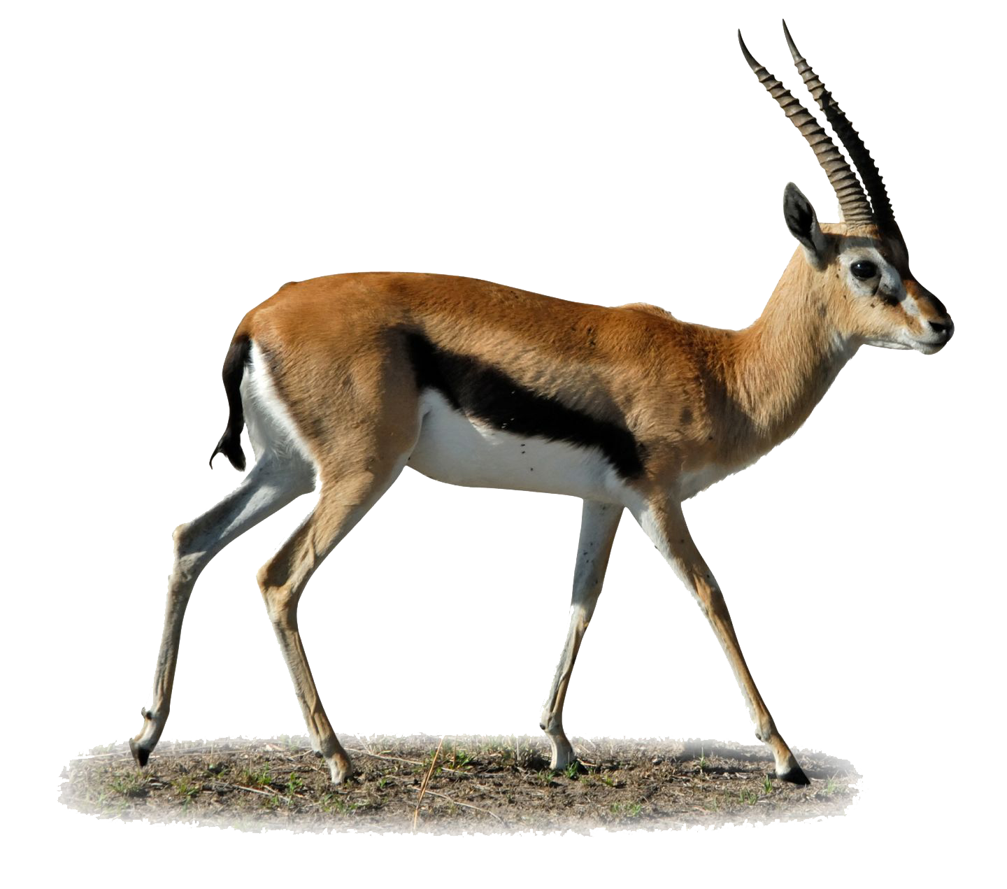 Gazelle PNG Images Transparent Free Download.