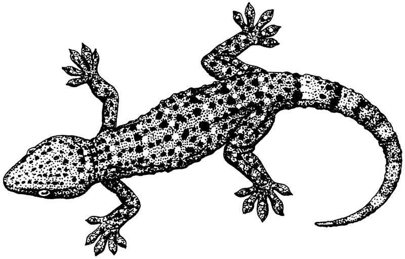Free Gecko Clipart, 1 page of Public Domain Clip Art.