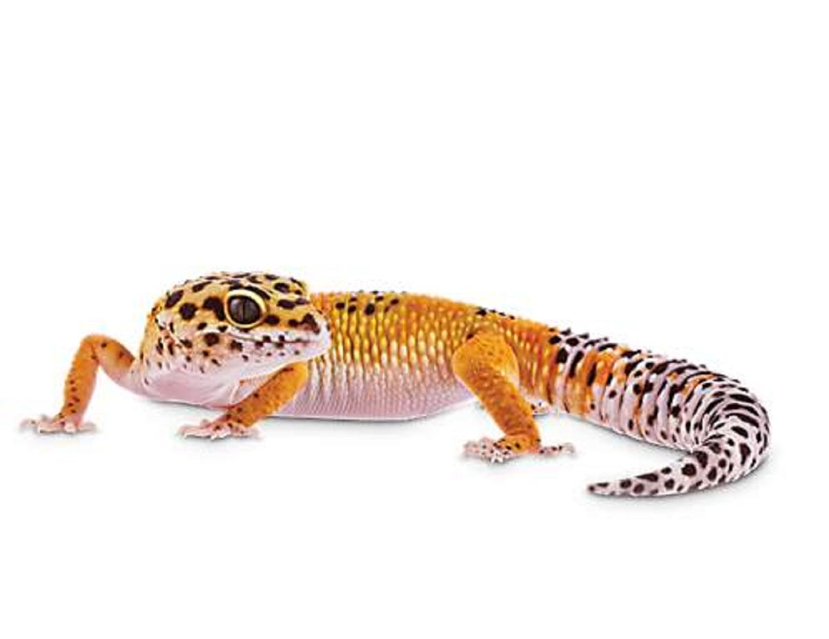 Reptile,Lizard,Vertebrate,Gecko,Scaled reptile,Terrestrial animal.