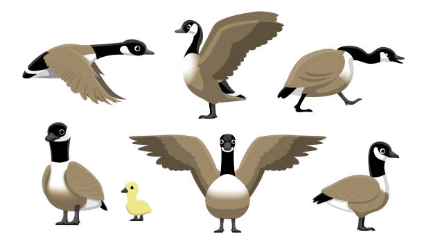 Best Goose Swimming Illustrations, Royalty.