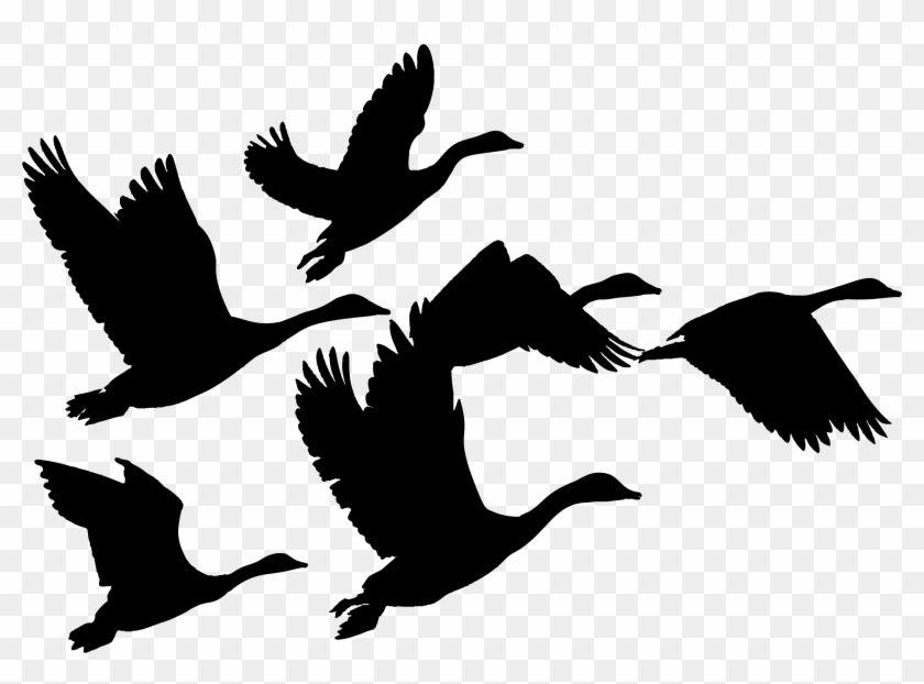 Canada Goose Duck Bird Flock.