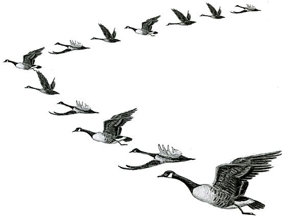 Geese form V\'s in the Fall Sky ~ Bird Migration.