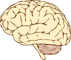 Gehirn clipart 5 » Clipart Station.