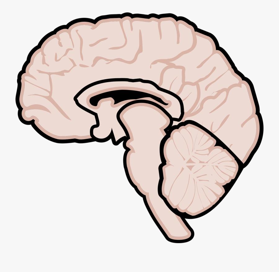 Gehirn Grafik , Free Transparent Clipart.