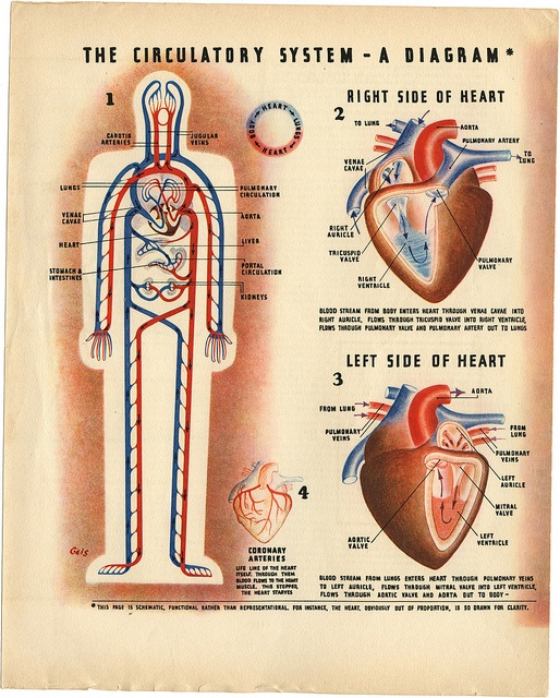 1000+ images about Circulatory System on Pinterest.