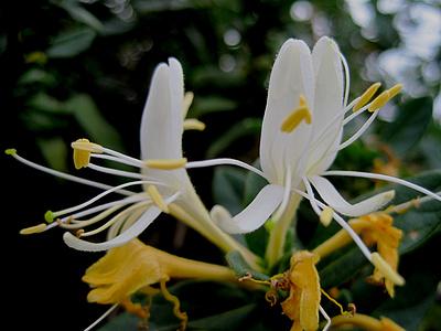 金银花Xylosteum图片大全素材库_金银花Xylosteum背景图片,摄影照片免费.