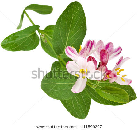 Honeysuckle free stock photos download (13 Free stock photos) for.