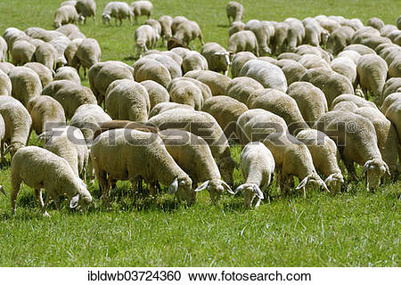 "Stock Photography of ""Flock of sheep, Altmuehltal lamb experience."