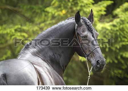 Stock Photograph of Friesian Horse. Portrait of the gelding Nillis.