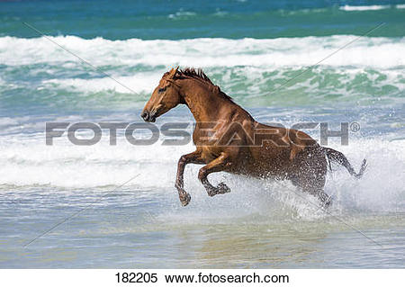 Stock Image of Hanoverian Horse. Chestnut gelding galloping in.