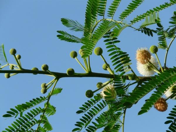 Acacia karroo free stock photos download (24 Free stock photos.