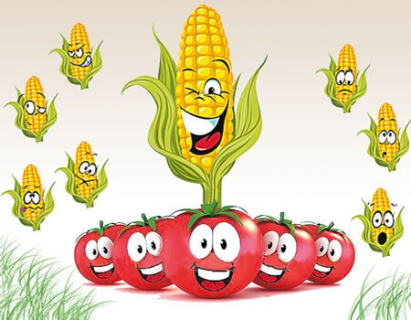 Genetically modified maize, others; how safe are these foods.