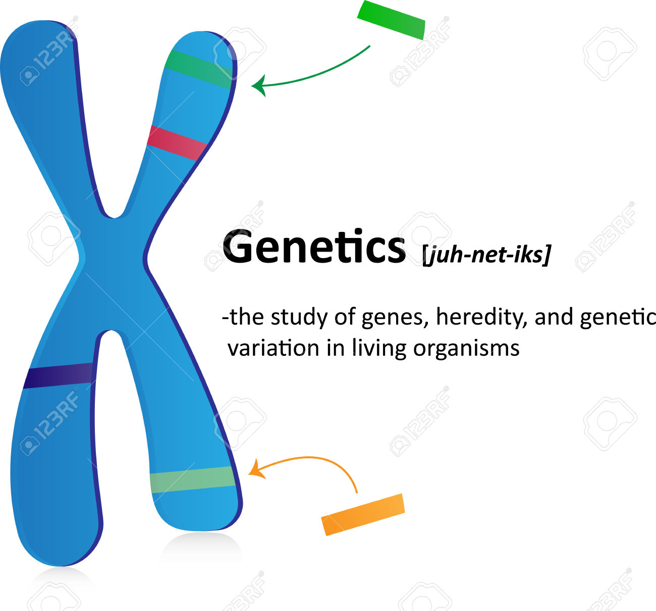 Genetics Definition Royalty Free Cliparts, Vectors, And Stock.