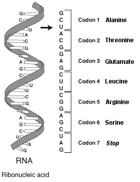 Mutation Genetics: Mutation Genetics Definition.