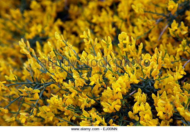 Yellow Broom Flowers Close Up Stock Photos & Yellow Broom Flowers.