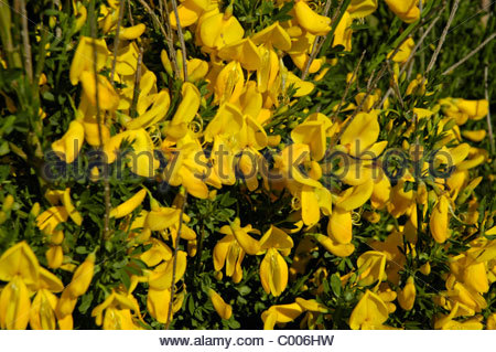 Ginster Broom Stock Photos & Ginster Broom Stock Images.