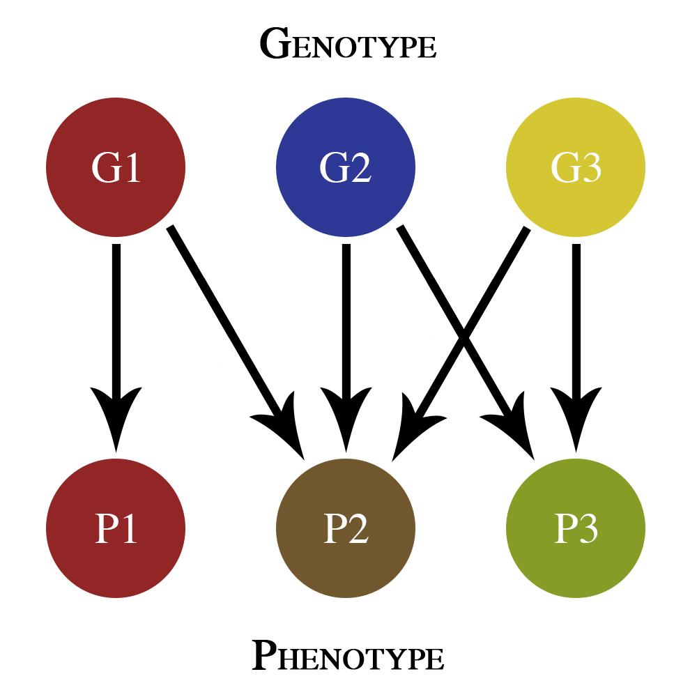 Genotype clipart #14