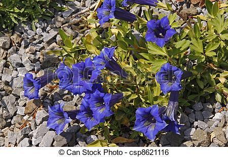 Stock Image of Gentiana acaulis, Stemless Gentian, blue alpine.