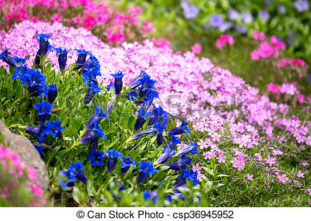 Stock Images of Trumpet gentian, blue spring flower in garden with.
