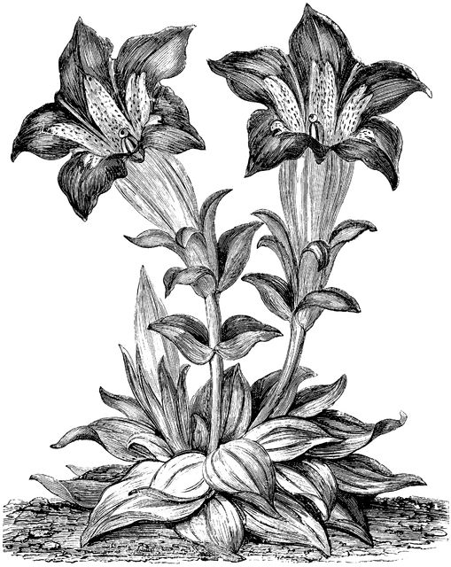 1000+ images about gentian on Pinterest.
