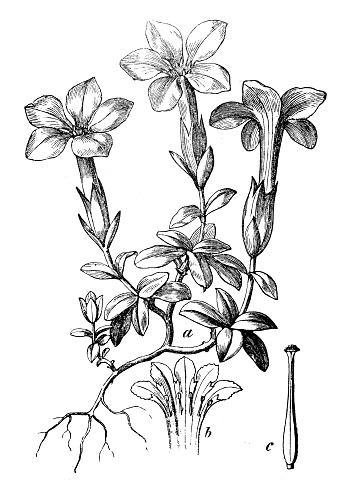 Gentian Tulips Clip Art, Vector Images & Illustrations.