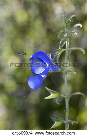 Stock Photo of Gentian Sage x75509074.