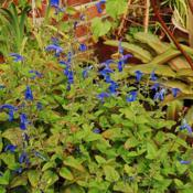 Gentian Sage (Salvia patens 'Oxford Blue') in the Salvias Database.