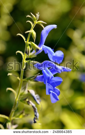 Genziana Stock Photos, Royalty.
