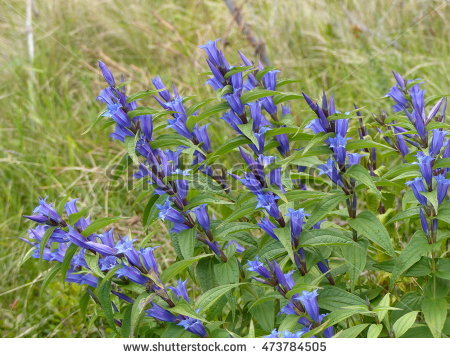 Gentian Flowers Stock Photos, Royalty.