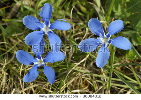 Flowers Of Gentian Stock Photos, Royalty.