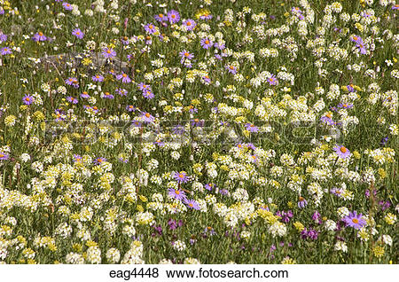 Pictures of Fields of wildflowers including eidelweiss & gentian.