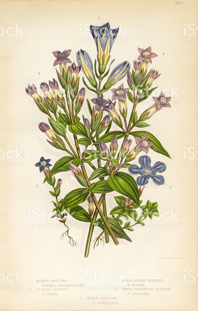 Gentian Felwort Victorian Botanical Illustration stock vector art.