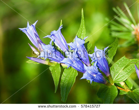 Gentian Blue Stock Photos, Royalty.