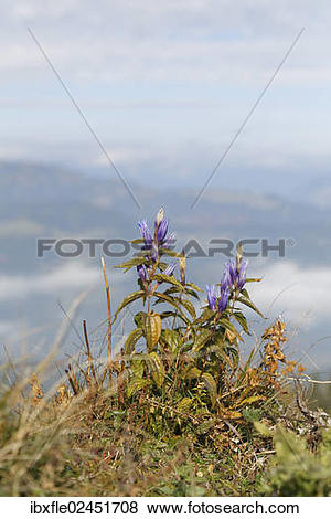 "Pictures of ""Willow Gentian (Gentiana asclepiadea), wilted on a."