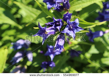 Gentiana Stock Photos, Royalty.