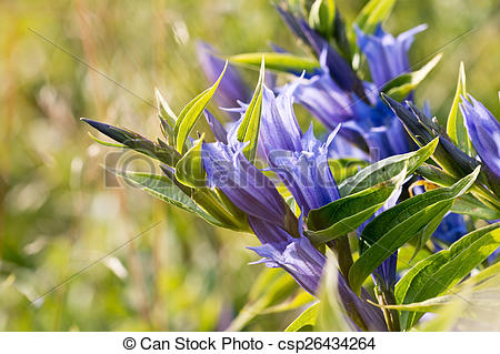 Stock Image of Gentiana asclepiadea (willow gentian) is a species.
