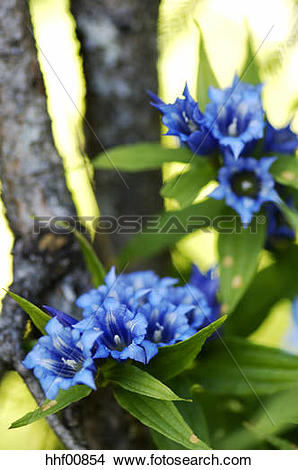 Stock Photo of Willow gentian, Gentiana asclepiadea, close.
