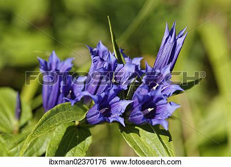 "Stock Images of ""Milkweed Gentian (Gentiana asclepiadea."
