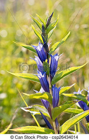 Stock Photography of Gentiana asclepiadea (willow gentian) is a.