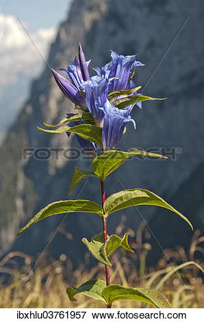 """Picture of """"Willow Gentian (Gentiana asclepiadea), Tyrol, Austria."""