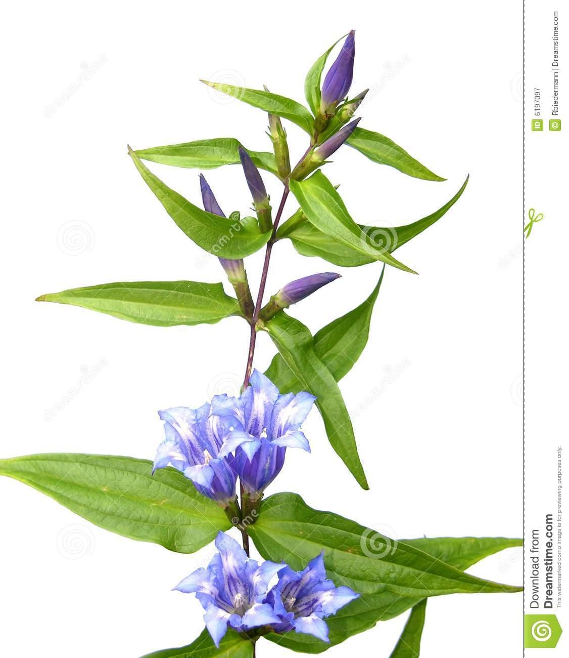 Willow Gentian (Gentiana Asclepiadea) Royalty Free Stock.