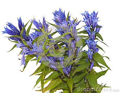 Gentiana Asclepiadea Royalty Free Stock Image.