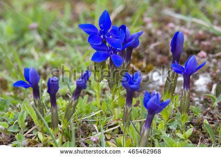 """alpine Gentian"" Stock Photos, Royalty."