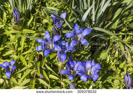 Blue Gentian Stock Photos, Images, & Pictures.