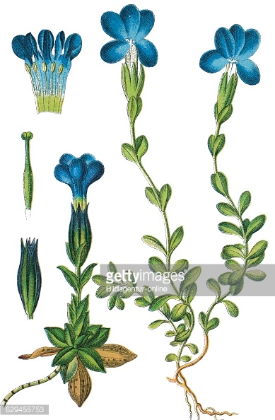 Gentiana Stock Photos and Pictures.