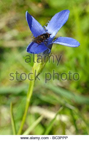 Gentian Stock Photos & Gentian Stock Images.