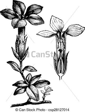 Vector Clip Art of Gentiana, vintage engraving..