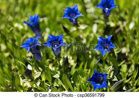 Stock Photographs of Trumpet gentiana blue spring flower in garden.